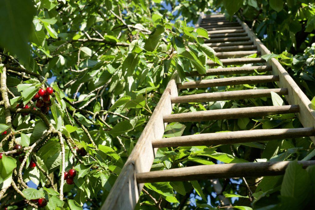 Leiter an Kirschenbaum angelegt