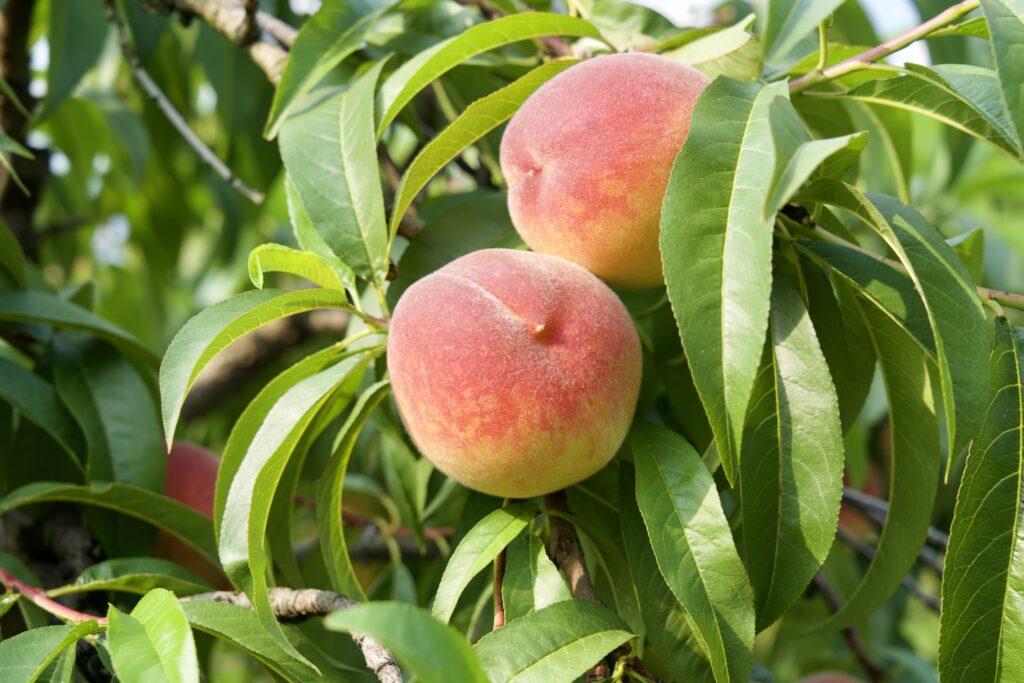 Zwei Pfirsiche am Baum hängend