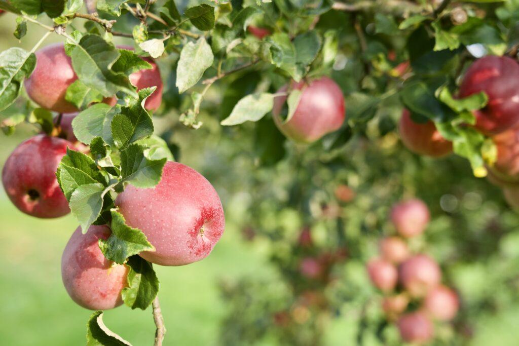 Äpfel am Baum hängend